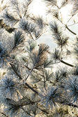 Fir tree with frost on needles — Stock Photo