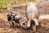 Two pigs on the farm — Stock Photo
