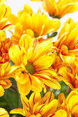 Closeup květy chryzantém — Stock fotografie