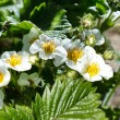 Flowers of strawberry and leaves — Stock Photo #63777409