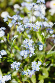 Blooming forget-me-not flowers — Stock Photo
