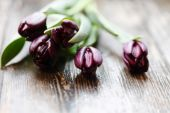Red tulips closeup — Stock Photo