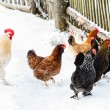 Chickens on the farm in winter — Stock Photo #65006131