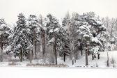 Winter threes under snow — Stock Photo