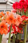 Amaryllis Flowers in pots — Stock Photo