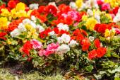 Colorful begonia flowers — Stock Photo