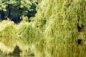 Willow trees near lake — Stock Photo