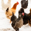 Chickens on the farm at winter — Stock Photo #67625693