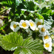 Flowers of strawberry and leaves — Stock Photo #67784619