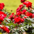 Red roses in the park — Stock Photo #67784979