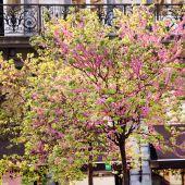 Blooming sakura tree — Stock Photo