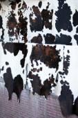 Peau de vache noir et blanc — Photo