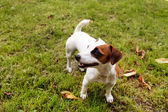 Jack Russell Terrier  on grass — Stock Photo