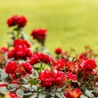 Red roses in the park — Stock Photo #69876445