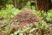 Big anthill  in forest — Stock Photo