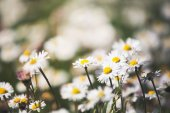 Summer meadow with camomiles — Stock Photo
