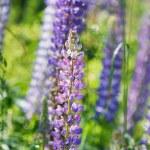 Wild lupine flowers — Stock Photo #70959139