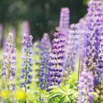 Wild lupine flowers — Stock Photo #70959149