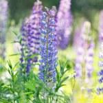 Wild lupine flowers — Stock Photo #70959153