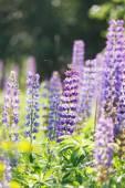 Wild lupine flowers — Stock Photo