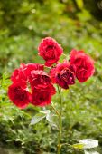 Wet rose flowers in garden — Stock Photo