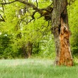 Oak tree in the green park — Stock Photo #71424737