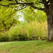 Oak tree in the green park — Stock Photo #71424741