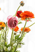 Persian buttercup flowers — Stock Photo