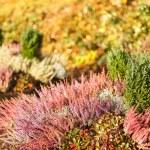Autumn red plants — Stock Photo #71979403