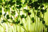 Brotos verdes nutritivos — Fotografia Stock