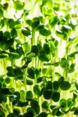 Nutritious green sprouts — Stock Photo
