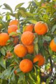 Mandarin tree twig — Stock Photo