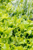Watering lettuce in the garden — Stock Photo