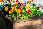 Pansy (Viola tricolor) in flowerbed — Stock Photo