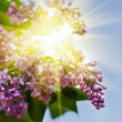 Lilac blossoming branch — Stock Photo #62288453