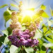 Lilac blossoming branch — Stock Photo #62288665