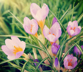 Beautiful crocuses in grass — Stock Photo