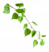 Beautiful green birch branch isolated on a white background — Stock Photo