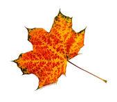 Autumn maple leaf isolated on white background — Stock Photo