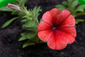 Petunia. Surfinia — Stockfoto