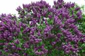 Closeup of blossomed lilac flower bushes against blue sky — Stock Photo