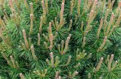 Green branch of the pine tree close up photo — Stock Photo
