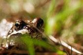 žába v trávě — Stock fotografie