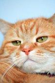 Ginger Cat — Photo