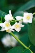 White Wildflower — Stock Photo