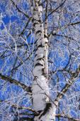 Winter Birch — Stock Photo