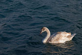 Swan on the sea — 图库照片