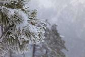 árboles cubiertos de nieve — Foto de Stock