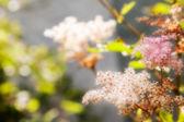 Spring flower spirea — Stock Photo