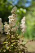 The White Spiraea — Stock Photo